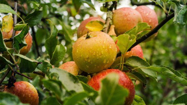 appelazijn natuurlijk hulpmiddel bij afslanken